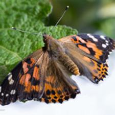 ButterflyRearin.jpg
